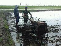 Babinsa Turun Ke Sawah Membantu Petani Tanam Gadu
